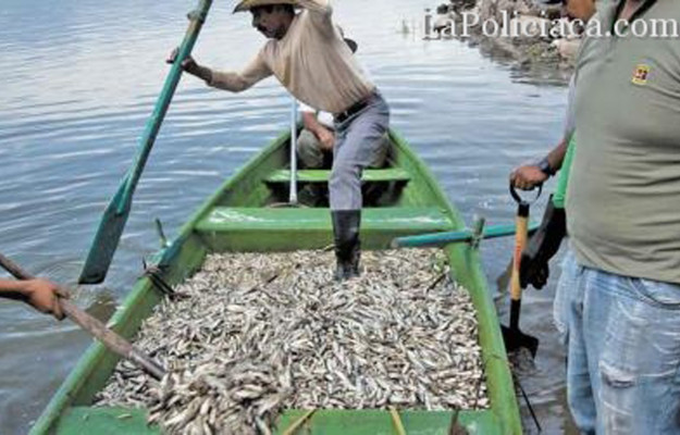 e20e6-retiran-53-toneladas-de-peces-muertos-de-laguna-de-jalisco